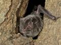 Широкоух прилеп_Western Barbastelle Bat