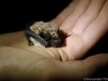 Прилепче на Сави_Savi's Pipistrelle Bat