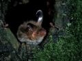 Дългоух нощник_Bechstein's Bat