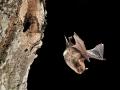 Воден нощник_Daubenton's Bat