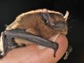 Кафяво прилепче_Common Pipistrelle Bat