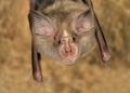 Rhinolophus blasii