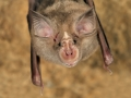 Средиземноморски подковонос_Blasius's Horseshoe Bat