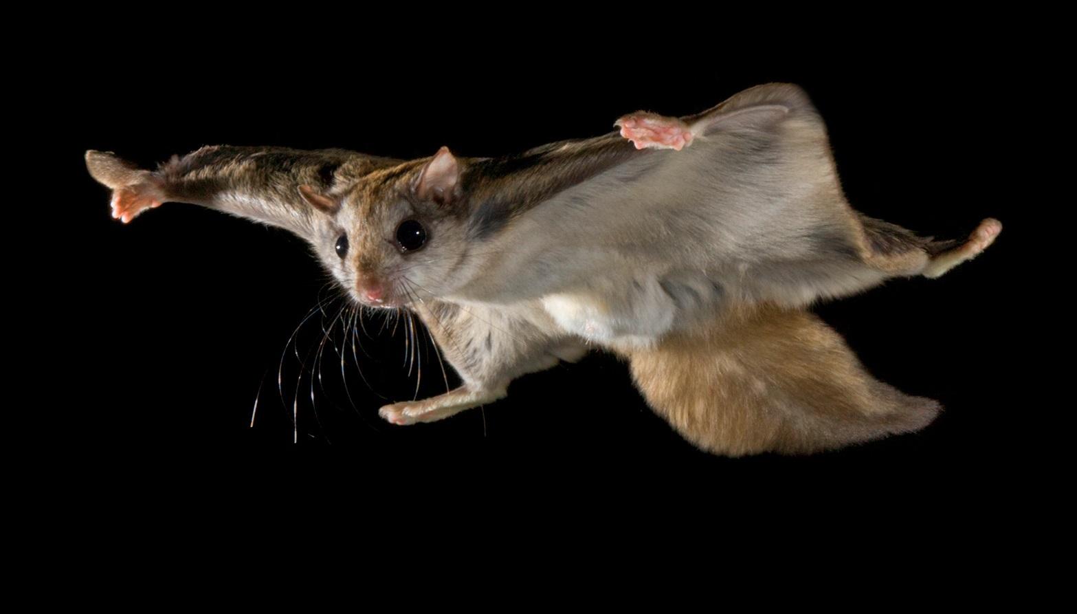 flyingsquirrel_gliding