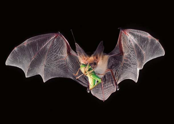 insects-bats