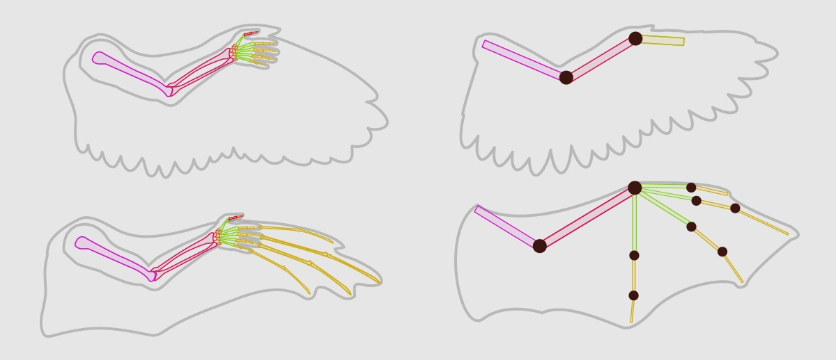 wings_1-4_wing_anatomy_use_your_arm-horz