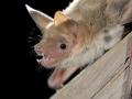 Остроух нощник_Lesser Mouse-eared Bat
