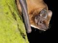 Ръждив вечерник_Noctule Bat