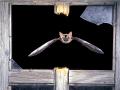 Сив дългоух прилеп_Grey Long-eared Bat