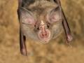 Средиземноморски подковонос_Blasius's Horseshoe Bat