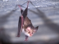 Южен подковонос_Mediterranean Horseshoe Bat
