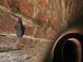 Малък подковонос_Lesser Horseshoe Bat