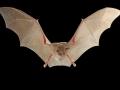 Подковонос на Мехели_Mehely's Horseshoe Bat